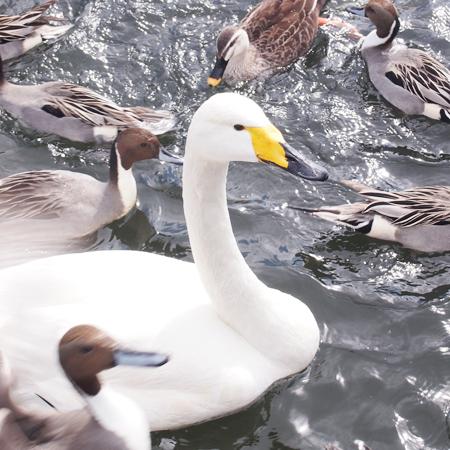 盛岡高松の池の白鳥