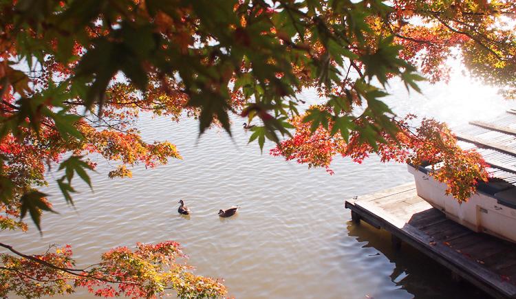 盛岡高松の池の紅葉と鴨