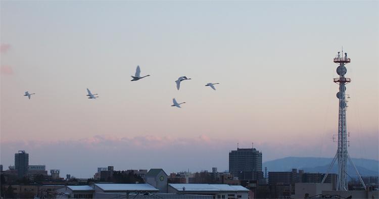 盛岡さんぽ、盛岡散歩の白鳥