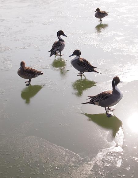 盛岡さんぽ、盛岡散歩の鴨